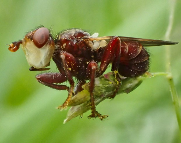 Thick headed fly killed by fungus. - PHOTO BY ANTHONY WESTKAMPER