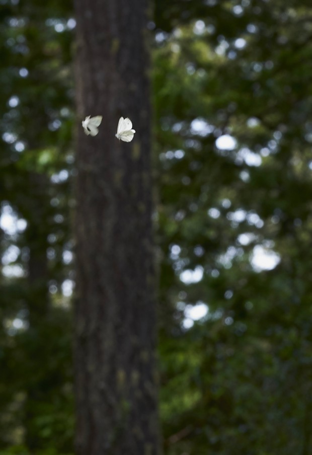Margined white butterfly in hot pursuit. - PHOTO BY ANTHONY WESTKAMPER