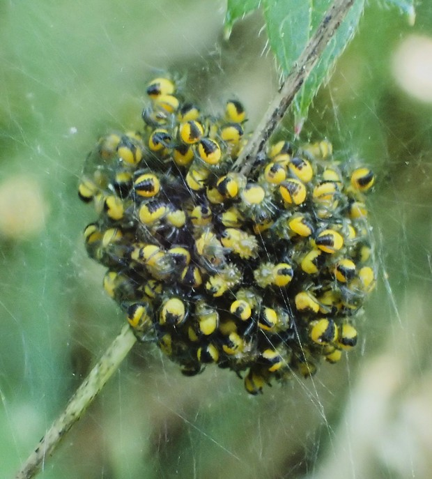 A mass of baby orb weaver spiderlings ready to protect the world. - PHOTO BY ANTHONY WESTKAMPER