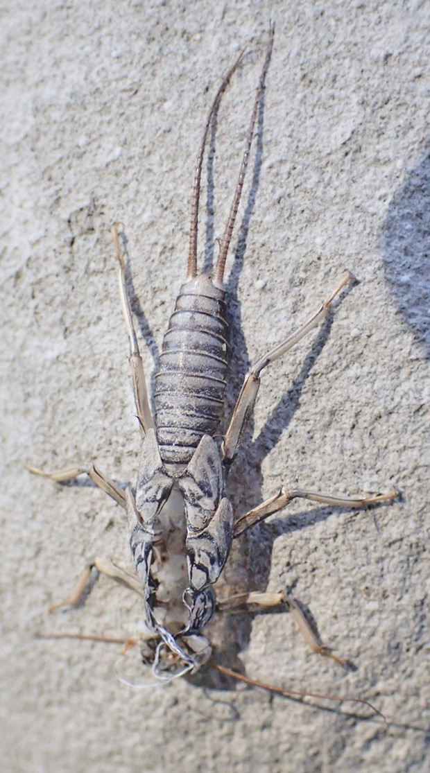 Empty and abandoned stonefly larval shell. - PHOTO BY ANTHONY WESTKAMPER