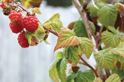 Beautiful, tasty berries are easy to grow but do even better with a little help. - PHOTO BY KATIE ROSE MCGOURTY