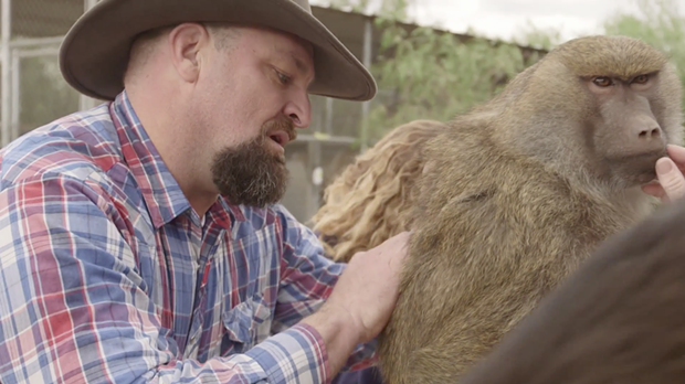John Griffith grooms a female baboon in an episode of Wild Jobs. - VIA ANIMALPLANET.COM