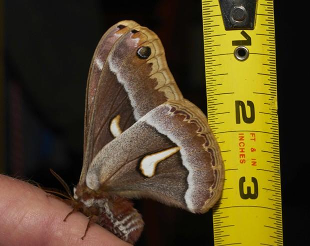 Underwings of ceanothus moth with ruler (Hyalophora euryalus). - PHOTO BY ANTHONY WESTKAMPER