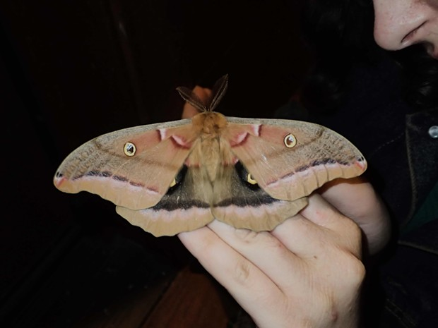 Polyphemus moth (Antheraea polyphemus), the largest moth in our area wingspan almost 6 inches. - PHOTO BY ANTHONY WESTKAMPER