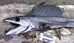 Cannibal Lancetfish