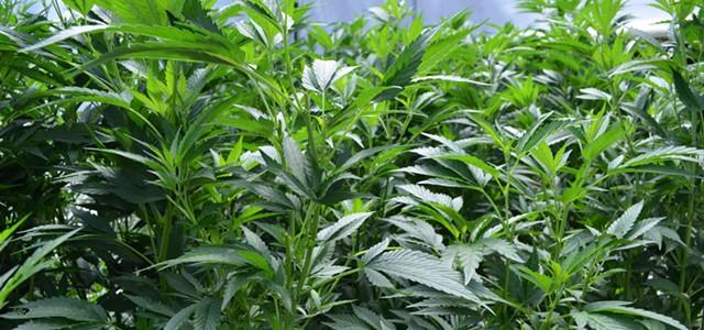 Hundreds of Humboldt Cannabis Felonies Reclassified as Misdemeanors