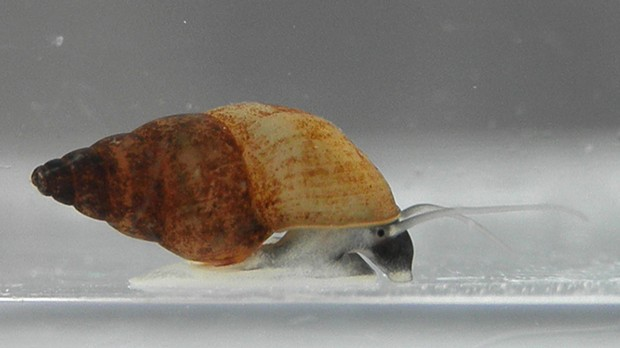 New Zealand mudsnails measure just under 5 millimeters but reproduce prolifically and can take over an ecosystem.