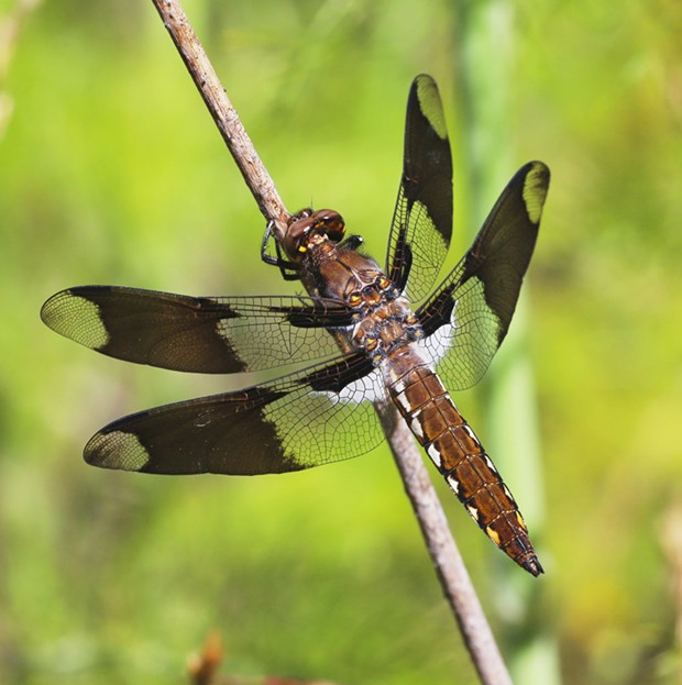 A common whitetail dragonfly.
