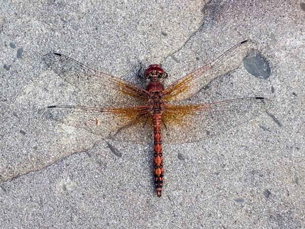 A red rock skimmer dragonfly shows characteristic wing shape and posture.