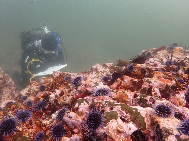 Urchins blanket a rocky reef.