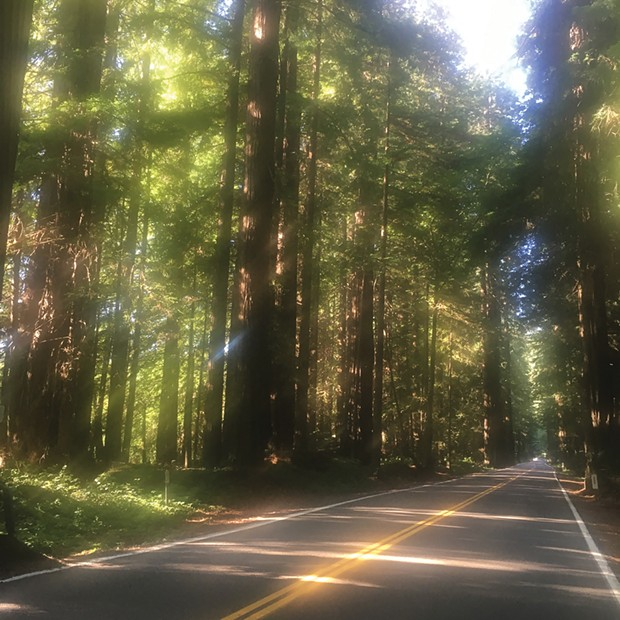 Sun through the redwoods while cycling on the Avenue of the Giants.