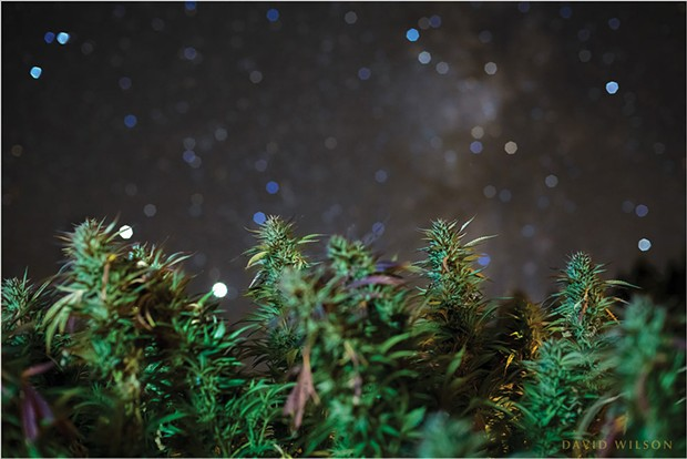 A starry night above budding cannabis plants at Schackow Farms. A close focus on the plants allowed the stars of the Milky Way to blur into prismatic shapes. Nestled among the buds to the left, Saturn (above) and Jupiter, the two brightest white points, sink into the west. In the sky at right, portion of the Milky Way floats above the horizon.  Photographed at Schackow Farms, Humboldt County, California. October, 2020.