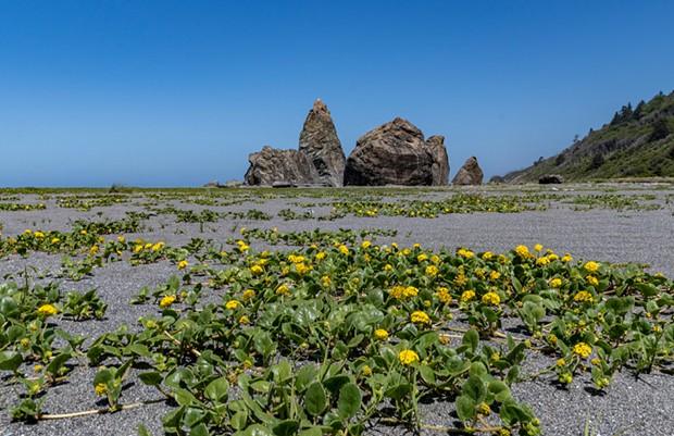 Sand verbena blossoms on the ocean beach near Ossagon Rocks.