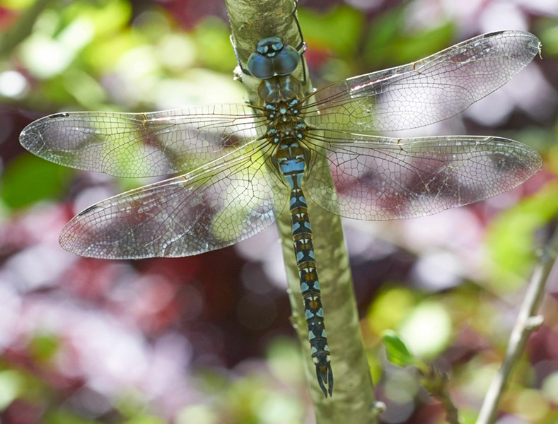 Blue eyed darner on an ornamental tree in my back yard. - ANTHONY WESTKAMPER