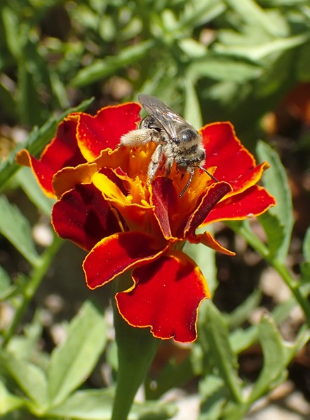 Genus Colletes fuels up on marigold. - PHOTO BY ANTHONY WESTKAMPER