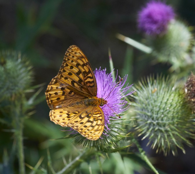 Fritillary on thistle. Likely a great spangled fritillary, there are several species with subtle differences. - PHOTO BY ANTHONY WESTKAMPER