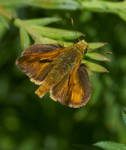 Skipper basks on redwood. - PHOTO BY ANTHONY WESTKAMPER
