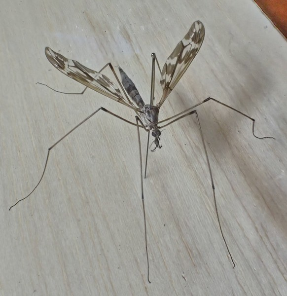 Crane fly rescued from the oblivion of my vacuum cleaner and given a new existence. - PHOTO BY ANTHONY WESTKAMPER