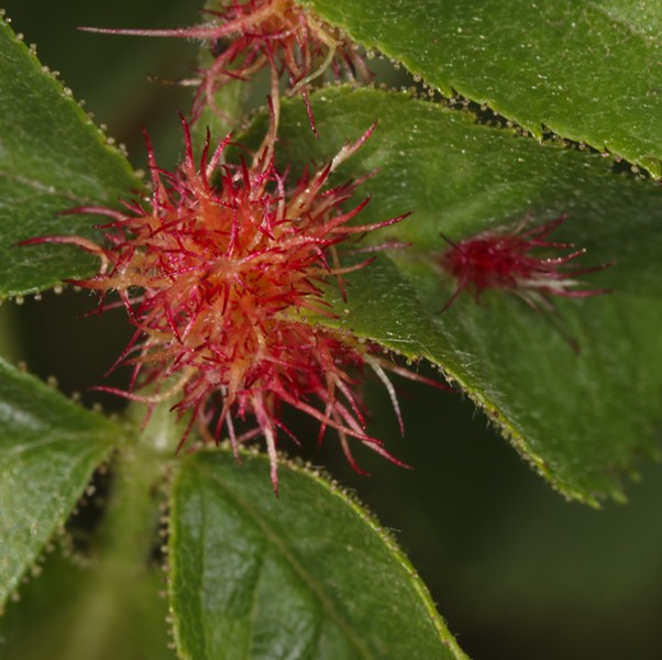 Robin's pincushion gall on the leaf axil of a wild rose. - PHOTO BY ANTHONY WESTKAMPER