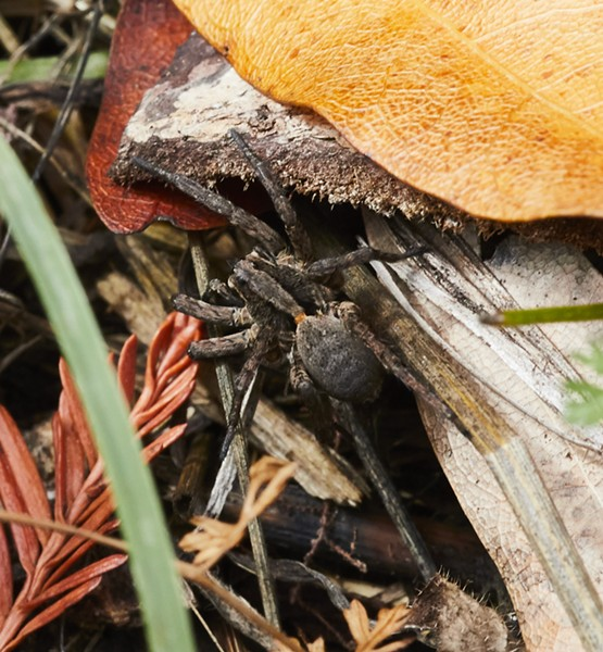 A wolf spider paused just long enough to get a shot. - PHOTO BY ANTHONY WESTKAMPER