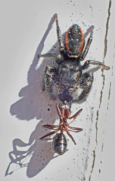 Johnsons jumping spider with ant prey. - PHOTO BY ANTHONY WESTKAMPER