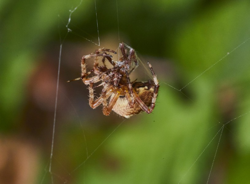The female starts to wrap male spider. - PHOTO BY ANTHONY WESTKAMPER