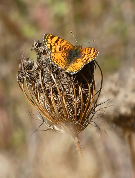 Mylitta crescent on dried Queen Anne's lace seed head. - PHOTO BY ANTHONY WESTKAMPER