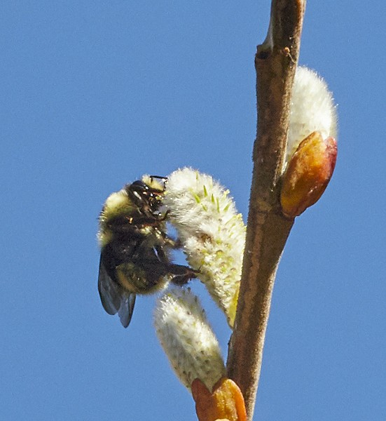 Bumblebee on willow catkin. - PHOTO BY ANTHONY WESTKAMPER