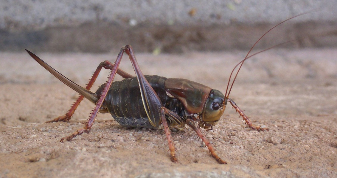 Female Mormon cricket in Nevada in 2004. - PHOTO BY ANTHONY WESTKAMPER