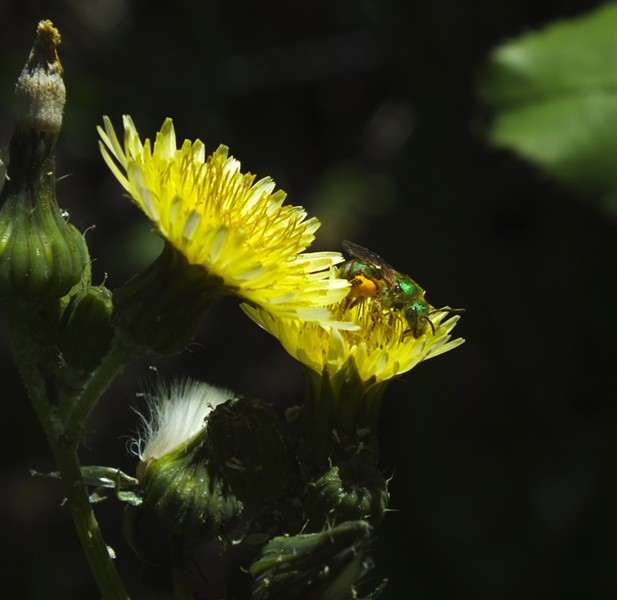 Little metallic halictid bee on dandelion.  Note the collection of pollen on the hind legs. - PHOTO BY ANTHONY WESTKAMPER