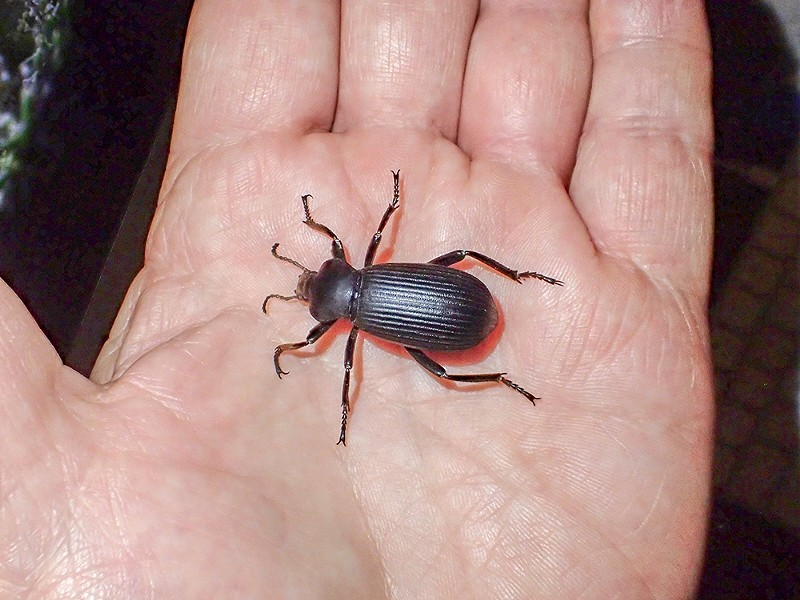 A darkling beetle in the hand. - PHOTO BY ANTHONY WESTKAMPER