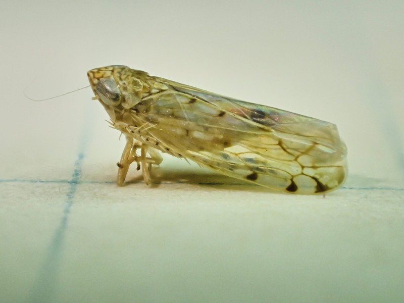 A Leaf Hopper, far from any leaves. - PHOTO BY ANTHONY WESTKAMPER