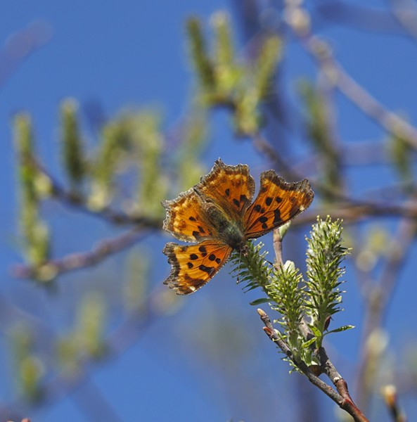 Polygonia faunus, aka green anglewing. - PHOTO BY ANTHONY WESTKAMPER