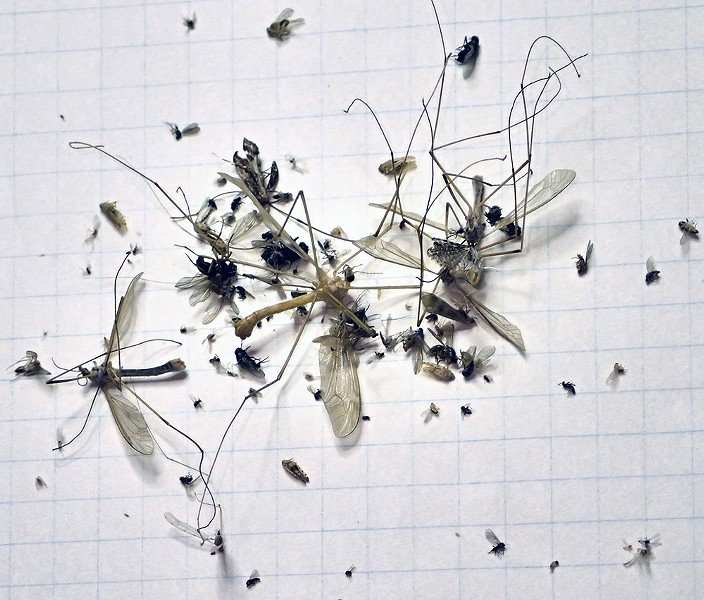 A month's worth of bugs from my kitchen light fixture. - PHOTO BY ANTHONY WESTKAMPER