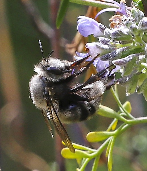 Pacific digger bee almost too quick to follow is an agile and active pollinator. - PHOTO BY ANTHONY WESTKAMPER
