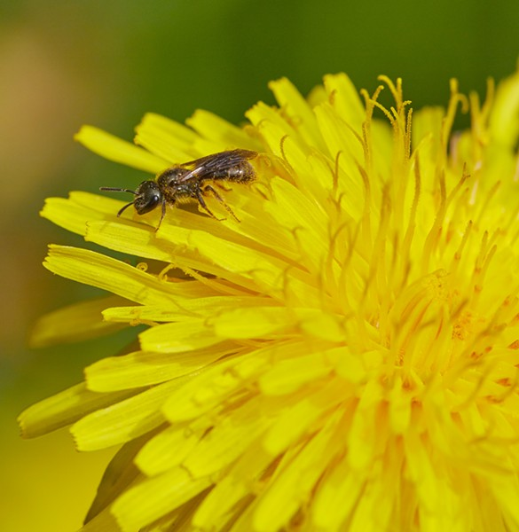 Itsy-bitsy bee with pollen all over it. - PHOTO BY ANTHONY WESTKAMPER