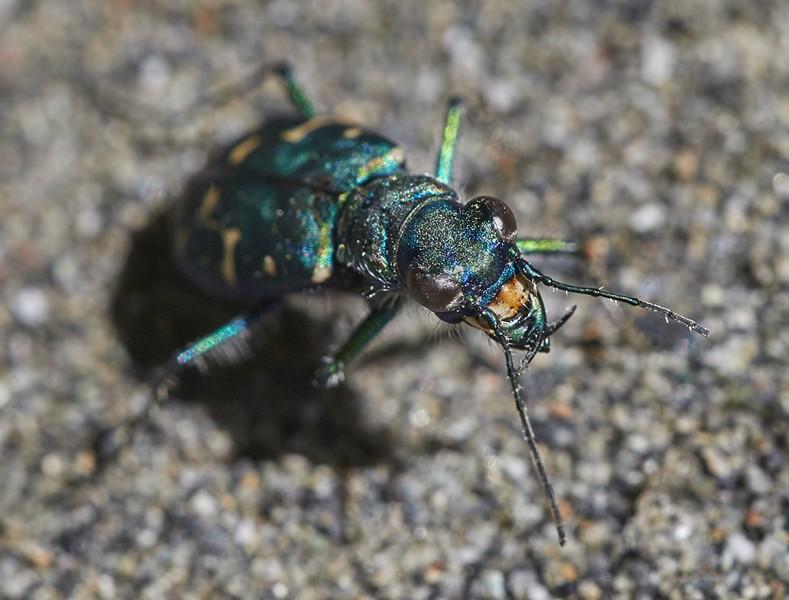 Oregon tiger beetle (Cicindela oregona oregona) displays a wicked set of chompers. - PHOTO BY ANTHONY WESTKAMPER