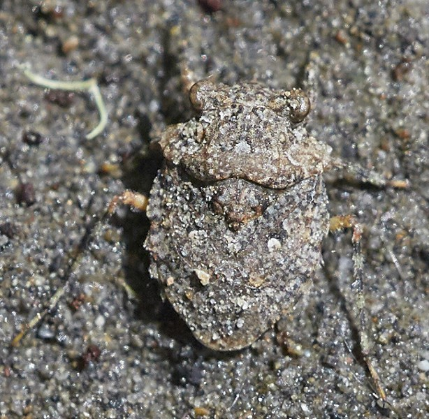 Toad bug (Gelastocoridae species) has extremely good camouflage on the sand where it can be found. - PHOTO BY ANTHONY WESTKAMPER