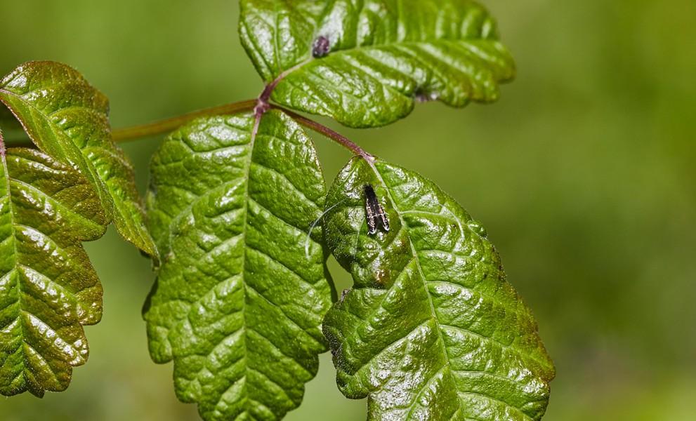 Ocean spray fairy moth (Adela septentrionella) on poison oak. - PHOTO BY ANTHONY WESTKAMPER