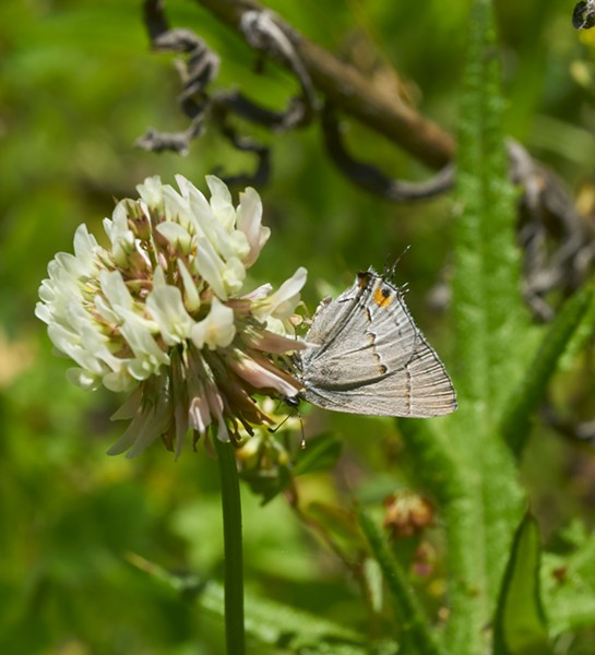 California hairstreak apparently feeding on clover. - PHOTO BY ANTHONY WESTKAMPER
