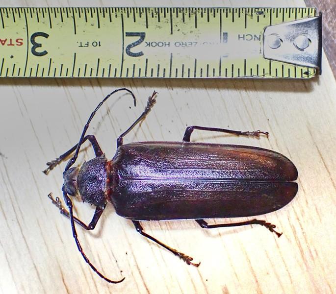 A California prionus beetle. - ANTHONY WESTKAMPER