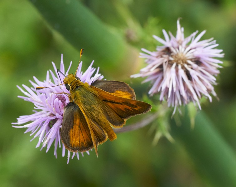 Woodland skipper (Ochlodes sylvanoides). - PHOTO BY ANTHONY WESTKAMPER