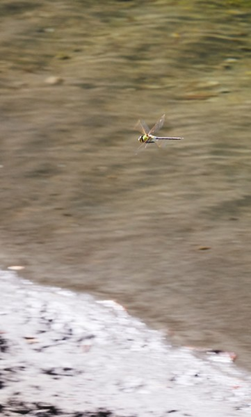 Common green darner patrolling over the river. - PHOTO BY ANTHONY WESTKAMPER