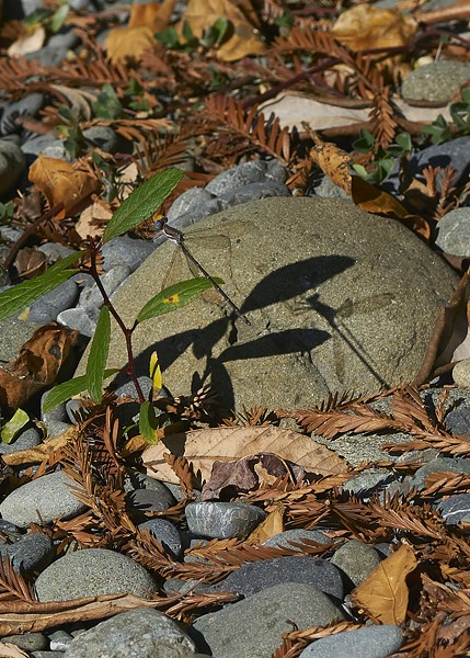 California Spreadwing. I love shadow pictures. - PHOTO BY ANTHONY WESTKAMPER