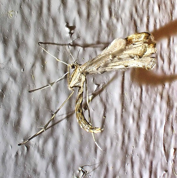 """Plume moth wings in unusual wings over back shows fringe of the """"plume"""" hind wings. - PHOTO BY ANTHONY WESTKAMPER"""