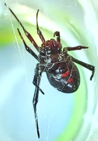 Black widow ventral side. Note the hourglass is incomplete, composed of two unconnected triangles. This is a normal variant. - PHOTO BY ANTHONY WESTKAMPER