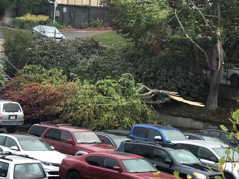 A downed tree at Humboldt State University covered at least two cars. - PHOTO COURTESY OF PEGGY METZGER