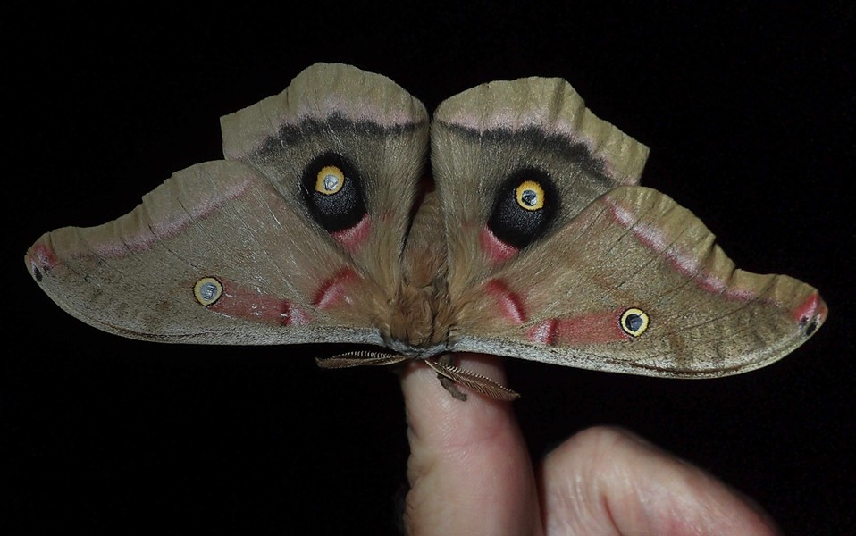 Polyphemus moth on my finger — and I have large hands. - PHOTO BY ANTHONY WESTKAMPER