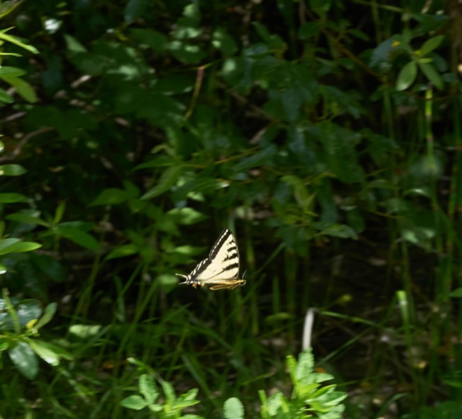 Last year's tiger swallowtail in flight along Van Duzen River. - PHOTO BY ANTHONY WESTKAMPER