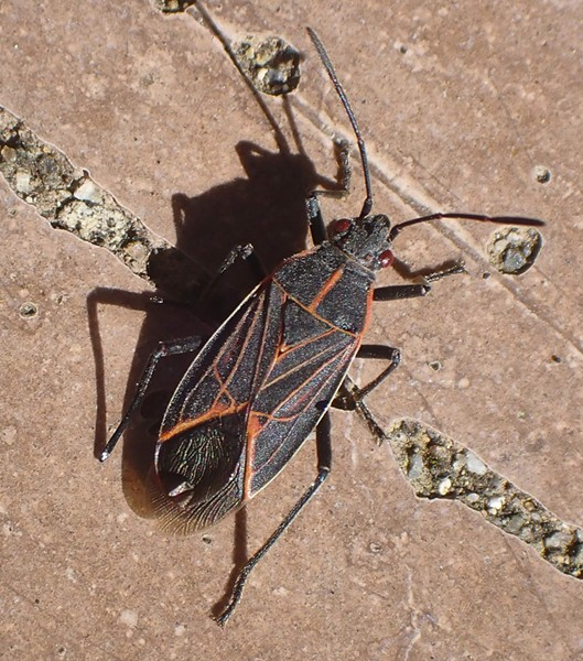 Box elder bug on picnic table. - PHOTO BY ANTHONY WESTKAMPER
